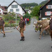 Kühe kehren ins Kriasi-Dorf zurück