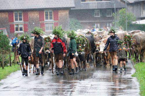 """Die Alpe Mittelargen machte sich am Freitag auf den Weg ins Tal: """"Die Kuh, die am besten läuft, bekommt den schönsten Kranz"""", sagt Michael Feurstein. L. Berchtold"""