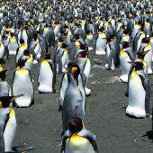 Größte Königspinguin-Kolonie massiv geschrumpft