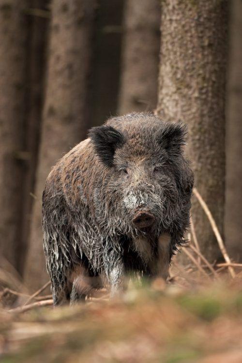 bilder wildschweine gratis  ausmalbilder