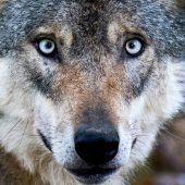 Gefräßiger Wolf wütet bei Nachbarn