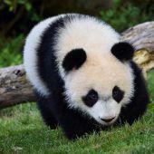 Panda auf Erkundung