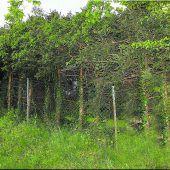 Fichtenwald im Wohngebiet