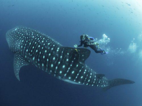 Forscher begleiteten Walhaie auf den Galapagos-Inseln über Wochen. APA