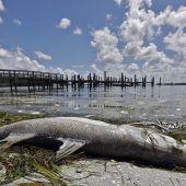 Rote Flut lässt Meerestiere an Floridas Küste verenden