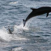 Jagd auf Delfine und Kleinwale