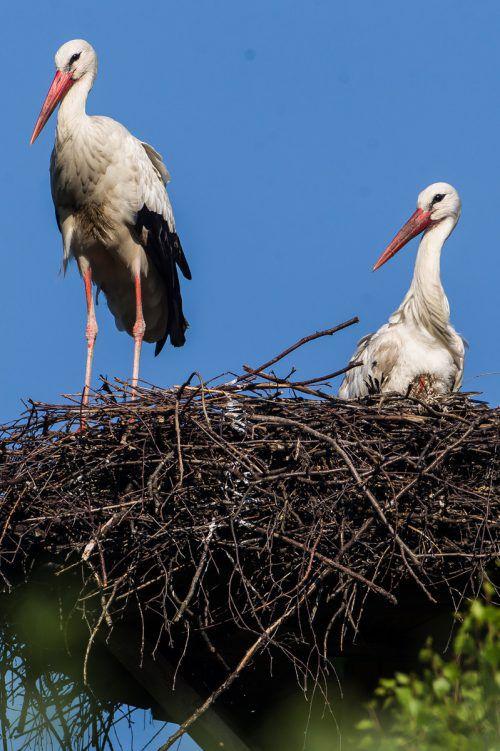 Mäjestätisch präsentiert sich dieses Storchenpaar in seinem Nest. Die Population der Vögel ist im Rheintal schnell gewachsen. VN/Steurer