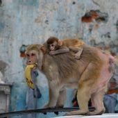 Affenplage in Indien