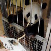 Panda Yang Yang ist eine Künstlerin