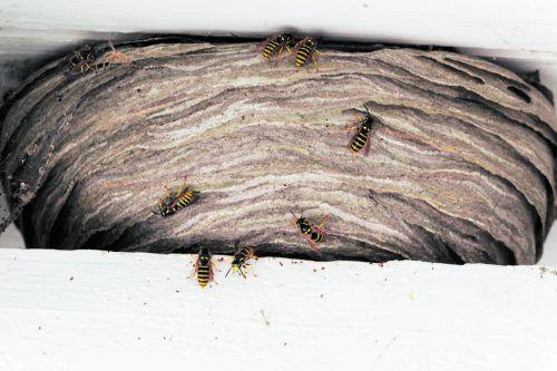 Wespen sind nützliche Tiere und werden zu Unrecht vertrieben und verfolgt.foto: shutterstock