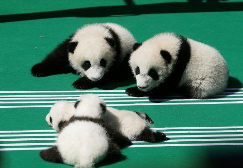 Am Freitag wurde der Panda-Nachwuchs der Presse vorgestellt. Reuters