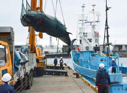 Außer Japan betreiben hauptsächlich noch Island und Norwegen Walfang. AP