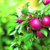 Frische Früchte aus dem eigenen Garten