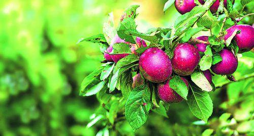 Bei der Apfelernte sollte man auch Früchte mit Faulstellen entfernen.