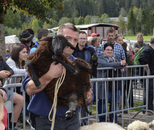 Besitzer holen ihre Schafe in Schoppernau ab.