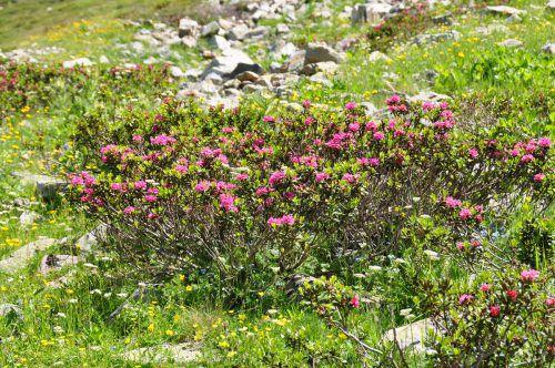 Die Alpenrosen blühen schon, die Exkursion lohnt sich trotzdem. friebe