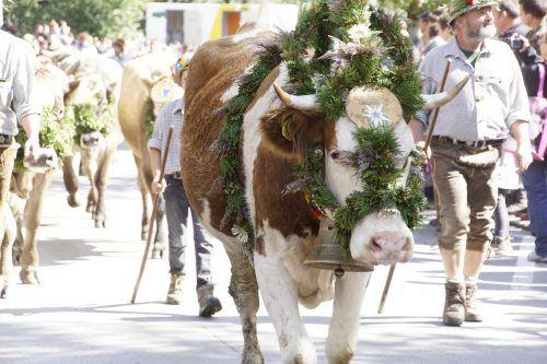 Der Alpabtrieb findet auch ohne großes Fest statt.Stadt
