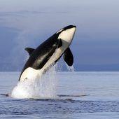 Orcas durch Umweltgift bedroht