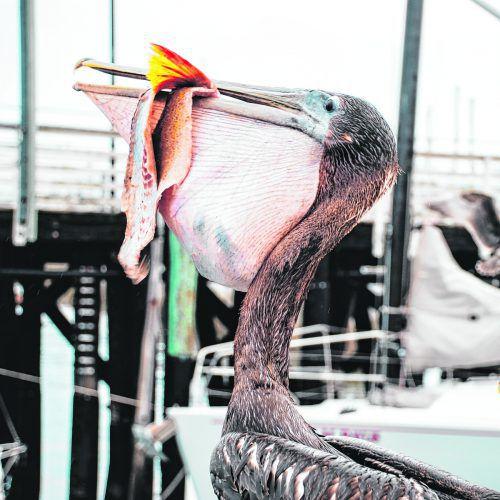 Pelikane hoffen darauf, an der Anlegestelle Fischreste zu ergattern. beate rhomberg