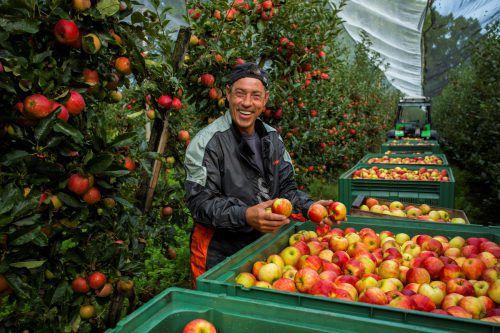 Vorarlbergs Obstbauern freuen sich über eine besonders gute Ernte. VN/Paulitsch