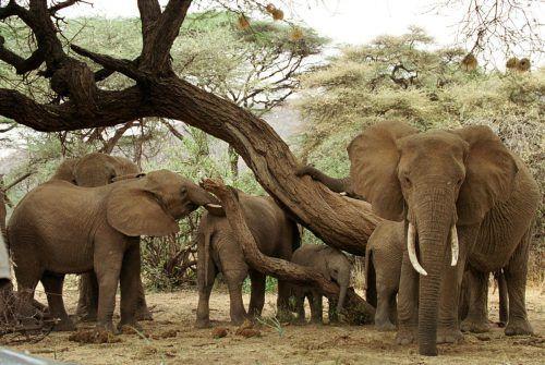 Zwischen 2006 und 2015 ist die Zahl der Elefanten in Afrika nach Angaben der Weltnaturschutzunion (IUCN) um 111.000 gesunken - dafür sei primär die Wilderei verantwortlich.                Reuters