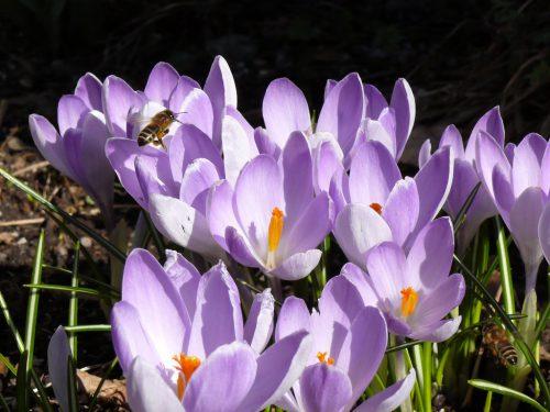 Damit Krokusse lila erstrahlen, muss man jetzt richtig pflanzen.