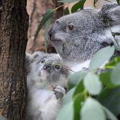 Nachwuchs im Koalahaus