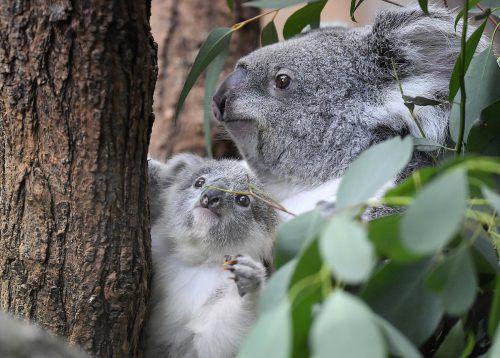 Der kleine Koala ist der Liebling der Besucher im Duisburger Zoo. AP