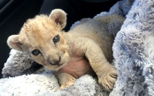 Der kleine Löwe kam in eine Wildtierauffangstation. AFP
