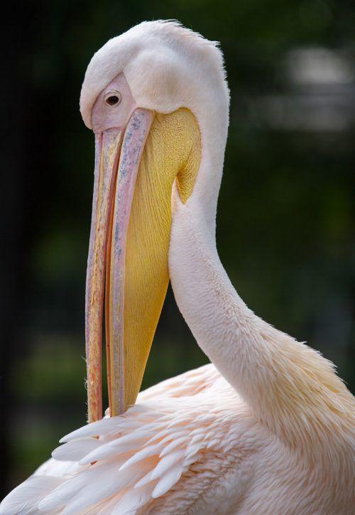 Der Pelikan auf der Isar in München stammt wohl aus Österreich. APA