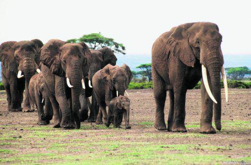 Die Falten in der Haut des Afrikanischen Elefanten sind eigentlich Brüche. APA