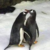 Elternglück für männliches Pinguinpärchen