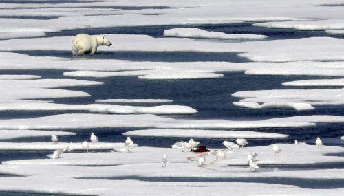 Eisbären gelten als Sinnbild für den Klimawandel. Bereits jetzt zeigen sich erhebliche Auswirkungen, mahnt der IPCC-Bericht. AP
