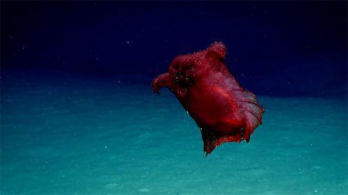 Erst zum zweiten Mal wurde diese Seegurken-Art gefilmt. NOaA