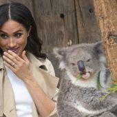 Koala Meghan