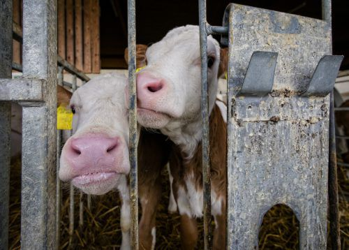 Der Landtag behandelte kürzlich den Tätigkeitsbericht der Tierschutzombudsfrau. Kälbertransporte waren das dominierende Thema. VN/Steurer, Archiv