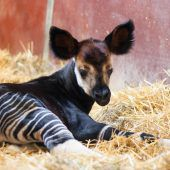 Starthilfe für Okapi