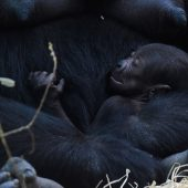 Zehntes Gorillababy