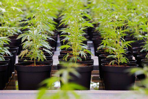Jobs für Kiffer? Am Mittwoch wird Cannabis in Kanada legalisiert. AFP