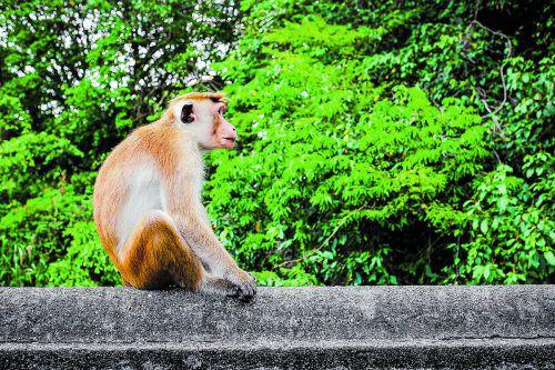 Bei den Touristenattraktionen sind die Affen besonders frech. beate rhomberg