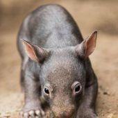 Warum die Hinterlassenschaft der Wombats würfelförmig ist