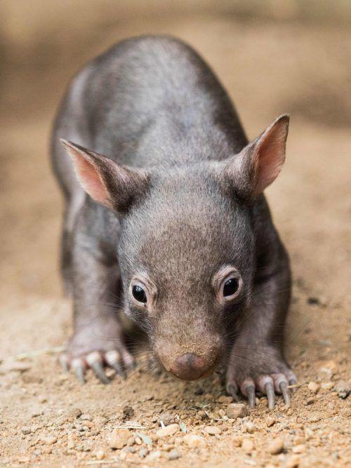 Das Rätsel, warum die Wombats Würfel kacken, ist gelöst. afp