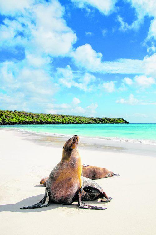 Die Seelöwen am schneeweißen Strand gehören zu den beliebtesten Fotomotiven bei den Besuchern der Galapagos-Inseln. Shutterstock (5)