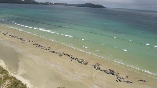 Ein trauriges Bild: Wal-Kadaver am Strand von Stewart Island. AFP