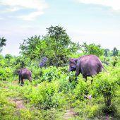 Sri Lankas wilde Elefanten