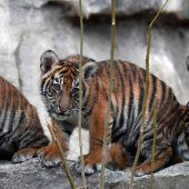 Trubel im Tigergehege