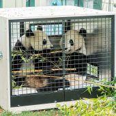 Abschied von Panda-Zwillingen