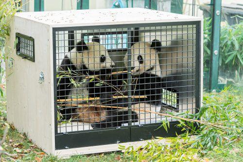 Fu Feng und Fu Ban werden bald nach China reisen. Tiergarten SChönbrunn/Zupanc