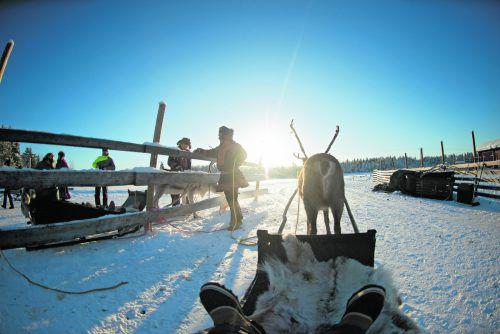 In Lappland gibt es mehr Rentiere als Einwohner. Beim Besuch einer Rentierfarm lernt man sie besonders gut kennen. Alexander Adlhoch (5)