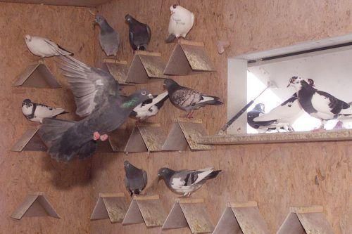 Taubenschlag auf dem Messehochhaus: Tauben werden gefüttert, dafür kommen ihnen die Eier abhanden. HB